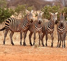 Wild zebra's on the African savannah by Virtuosa