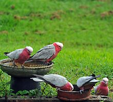 Galahs in our backyard. Brisbane, Queensland, Australia by Ralph de Zilva