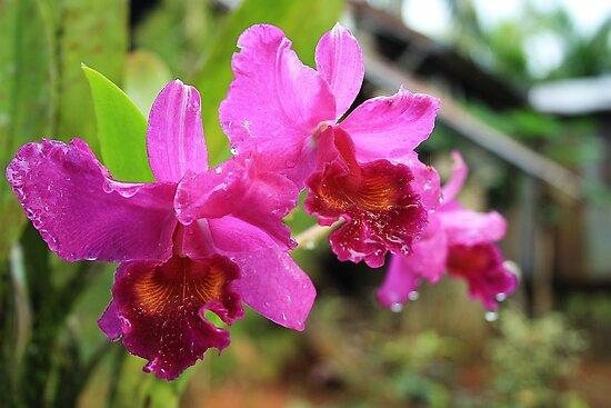 Orchids by Alfredo Encallado