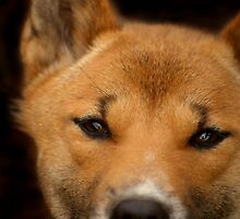 New Guinea Singing Dog by SerenaB