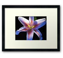 Asiatic Lily?? Framed Print