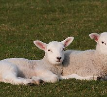 Lambs lying down by StefanFierros