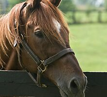 Creator - Old Friends Equine, Kentucky by Tracey  Dryka