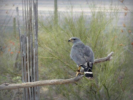 Grey Hawk by Lucinda Walter