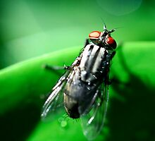 sarcophagid fly by lensbaby