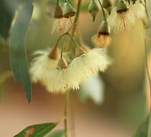 River Red Gum flower by flaxlily