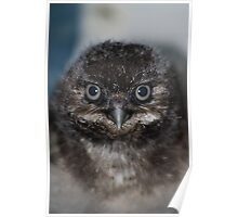Burrowing Owlet Poster