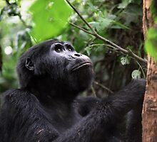 Gorilla in Bwindi, Uganda by Suzy Brunyee