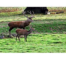 Alone Together at Last  (Red Deer) Photographic Print
