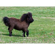 Look at me - miniature shetland filly Photographic Print