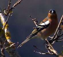 Chaffinch by Clive