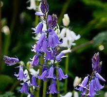 Bluebells & White Bells by freezaframe