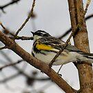 First Warbler of the Season (Yellow-rumped Warbler) by Robert Miesner