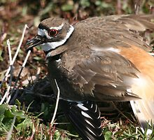 A Killdeer Mother's Instinct... by RichImage