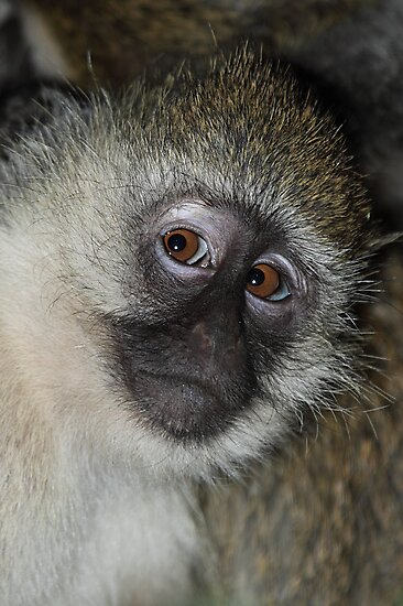 Black-faced Vervet Monkey, Kenya. by Carole-Anne