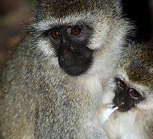 Black-faced Vervet Monkeys, Kenya. by Carole-Anne