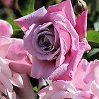 Dusky Pink Rose by Susan Moss