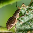Fuller&#x27;s rose weevil-Melbourne by patcheah