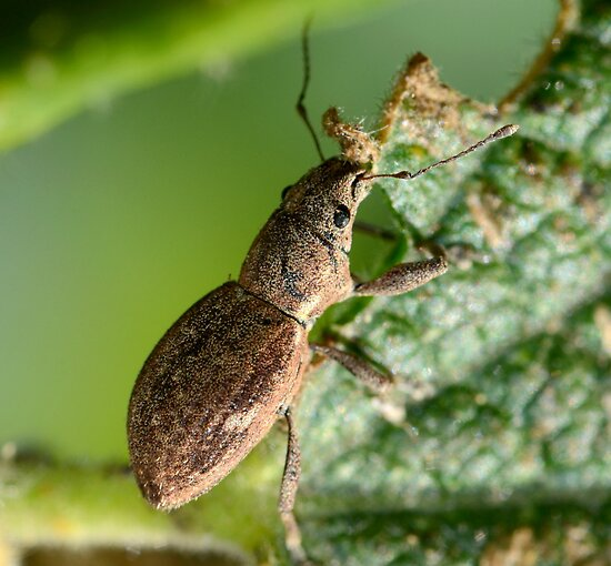 Fuller's rose weevil-Melbourne by patcheah