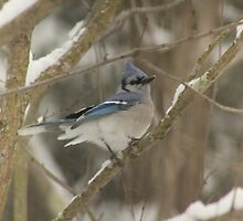 blue jay by KristaRebel