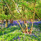 Bluebell Fields 1 by Holly Daniels