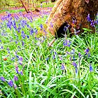 Bluebell Woods 2 by Holly Daniels