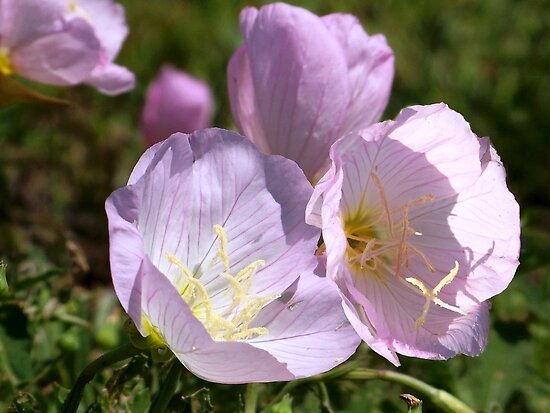 Wildflower ~Pink  Primrose by Penny Odom