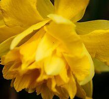 Daffodil by Joy Fitzhorn