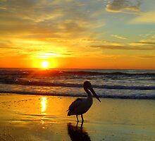 Pelican at Sunrise, Manly Beach, Sydney, NSW, Australia by Samantha  Goode