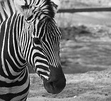 Zebra dreaming by Rene Fuller