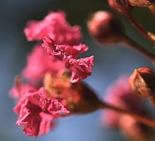 Crepe Myrtles Magic by Joy Watson