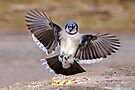 Blue Jay Lands by Jim Cumming