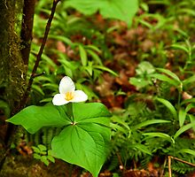 Trillium blossoming in the forest by jklune