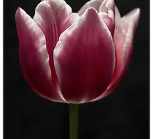 Tulips in the spring series by Pete Vincent