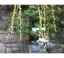 Blossoms Hanging in front of a Stone Wall Photographic Print