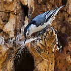 White-breasted Nuthatch by PixlPixi