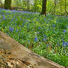 Whalley Wood Bluebells by John Hare