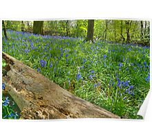 Whalley Wood Bluebells Poster