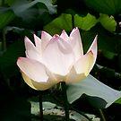 Lotus Flower by Jason Dymock Photography