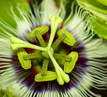 Passion Flower by Jason Dymock
