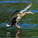 Female Duck Landing by Randall Ingalls