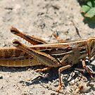 Locust by jozi1