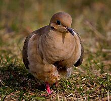 Lovely Dovely - Mourning Dove by John Absher