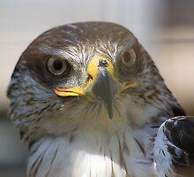 Ferruginous Hawk by Alyce Taylor