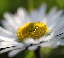 daisy in the garden  by yampy