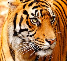 Sumatran Tiger by bmendes