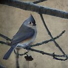 Tufted Titmouse by Renee Blake
