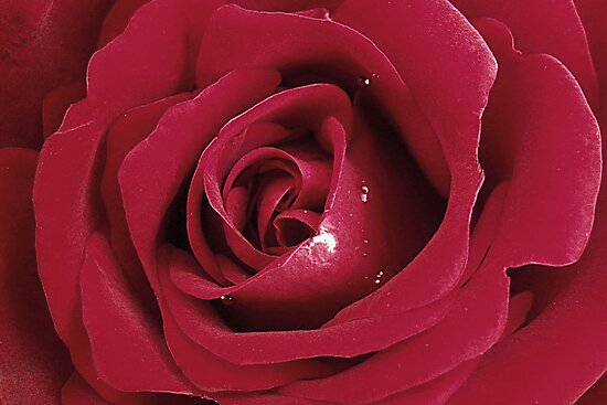 Velvety Rose by Kate Eller