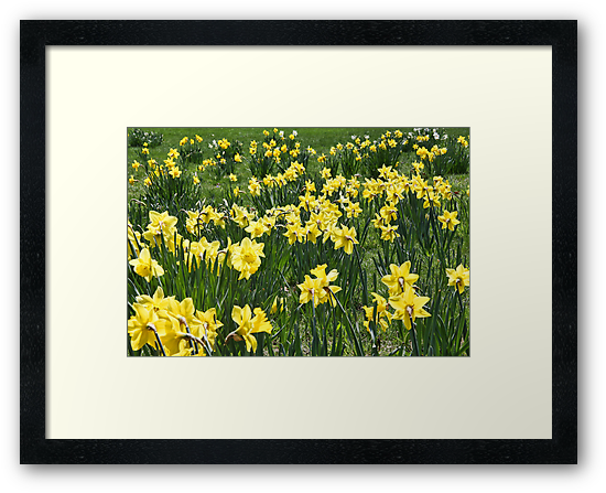 A Field Of Daffodils by daphsam