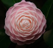 Camellia  by Andrew Hillegass